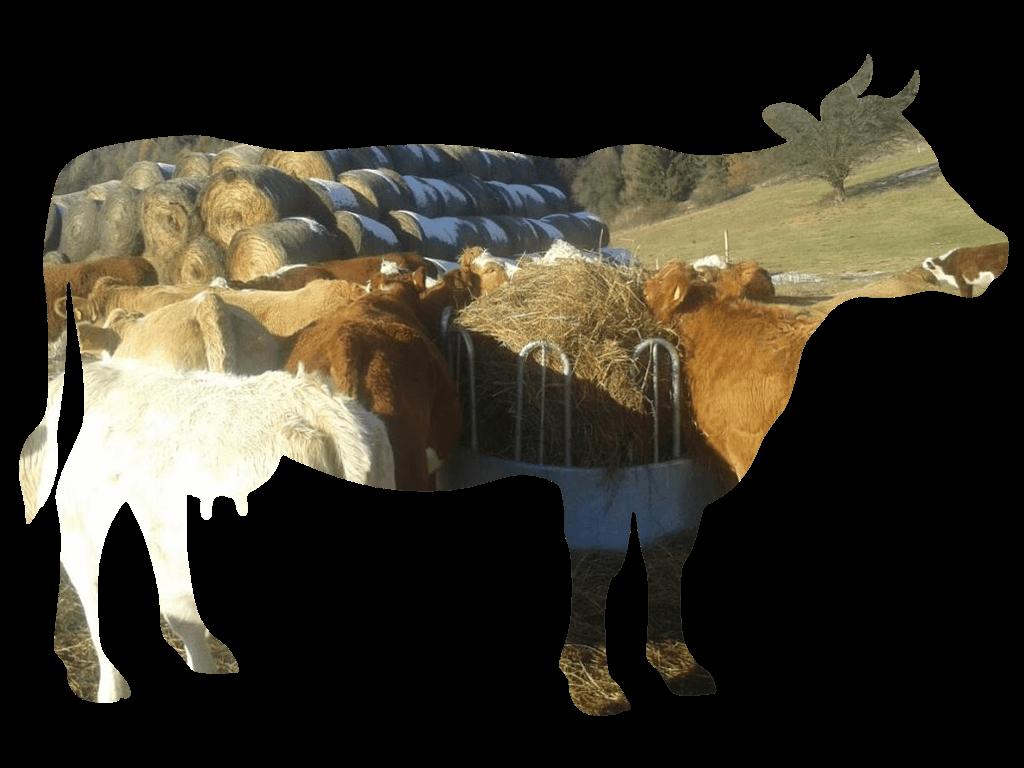Chov mäsového dobyka Agrofarma Turiec